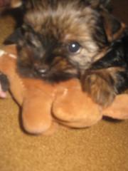 Продается щенок йоркширского терьера дев. 1,  5 мес.
