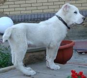 Продам белоснежного щенка среднеазиатской овчарки (алабай,  САО)