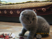 Шотландские вислоухие и британские котята продажа г. Луганск