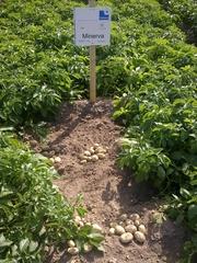семенной картофель для Успешного бизнаса в восточных  регионах Украины