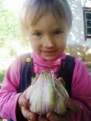 Продам чеснок озимый семена чеснока