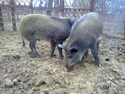 Дикие кабаны,  свиньи и поросята на развод