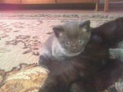 ПРОДАМ Британских прямоухих котят