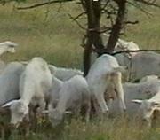 Козы дойные от зааненского козла